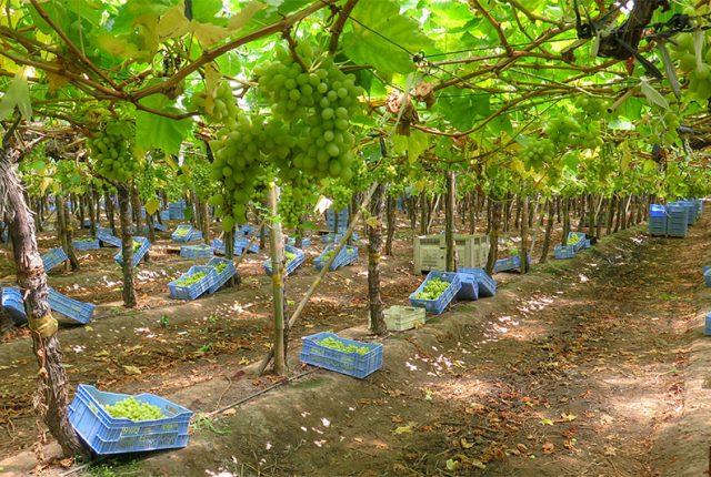 Uvas y otras frutas
